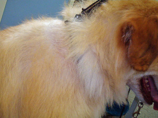 Clipper Alopecia | Atomic Canine